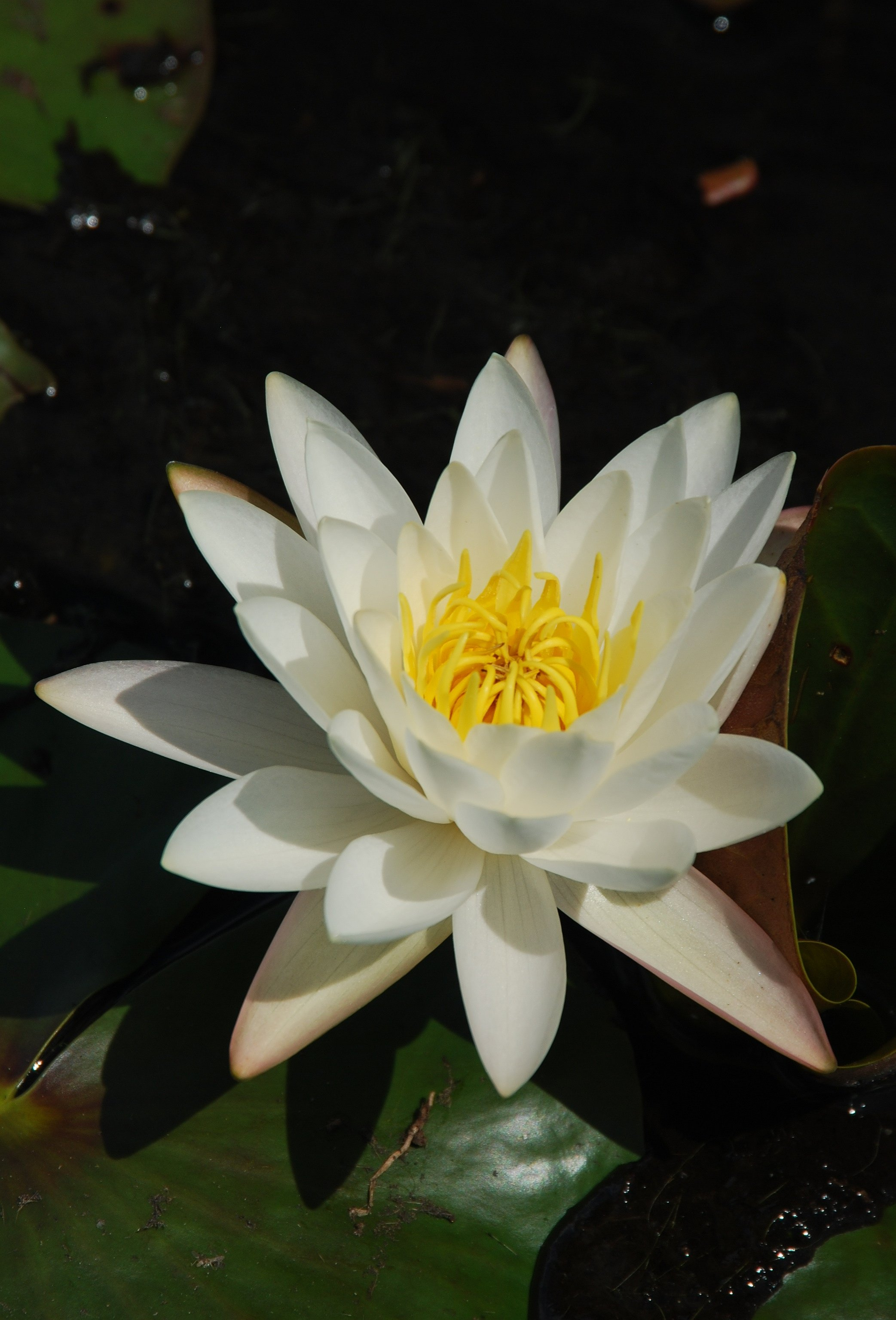 PaulStraussWildflowers/WaterLily99.jpg